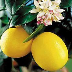 El cultivo del limonero en maceta