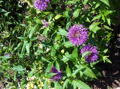 Bee balm plant in Texas - native and perennial Fresh Flowers, Wild Flowers, Bee Balm Plant, Butterfly Food, Texas Gardening, Fairy Land, Science Art, Drought Tolerant, Native Plants