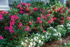 Get maximum blooms in your garden all year with a little expert advice and help from Encore Azalea bloom cycle charts. Pruning Azaleas, Dwarf Azaleas, Azaleas Landscaping, Front Yard Landscaping, Landscaping Ideas, Ferns Garden, Garden Shrubs, Full Sun Perennials, Flowers Perennials