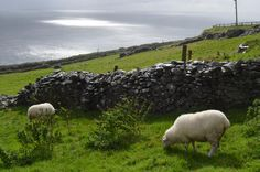 -Dingle Peninsula Sheep-