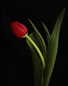 The Language of Flowers - Red Tulips = Undying Love Red Tulips, Tulips Flowers, All Flowers, Flowers Nature, Pretty Flowers, Red Roses, Planting Flowers, Language Of Flowers, Exotic Plants