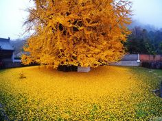 Photo shows tree shedding bright yellow leaves near Buddhist temple in China. The tree sheds its leaves in autumn, leaving a sheet of yellow near the Gu Guanyin Buddhist Temple Golden Tree, Golden Leaves, Ginko Tree, Maidenhair Tree, Dame Nature, Old Trees, Yellow Leaves, Bright Yellow, Yellow Tree