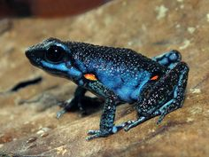 Frosch Illustration, Amazing Frog, Awesome, Poison Dart Frogs, Funny Frogs, Paludarium, Serpent, Frog And Toad, Weird Creatures