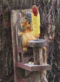 squirrel eating corn white sitting in a chair