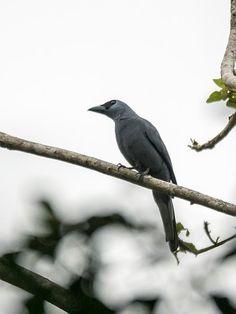 Stout-billed Cuckoo-shrike (Coracina caeruleogrisea)
