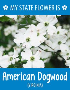 #Virginia's state flower is the American Dogwood. What's your state flower? http://pinterest.com/hometalk/hometalk-state-flowers/