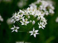 The white blossoms of garlic chives are edible along with the leaves. A great addition to the herb garden.