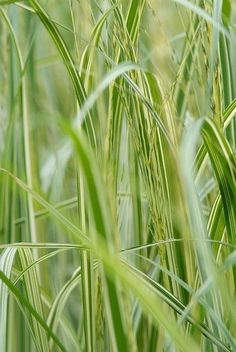 Grass is called 'Mother Nature's hair'. The most beautiful varieties of ornamental grasses is available for use in the garden. Red Fountain Grass, Pennisetum Setaceum, Blue Fescue, Border Plants, Hardy Perennials, Evergreen Shrubs, Ornamental Plants, Companion Planting, Mother Nature