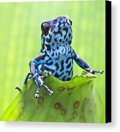 Frog Canvas Print Featuring The Photograph Dendrobates Pumilio Colubre By  Dirk Ercken