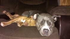 """Bentley and Brandy snuggling. They are Pitbulls.... Wow, these guys look """"vicious"""". OR NOT!! Have you hugged a Pitbull today? I have!"""
