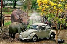 Baby and Elephant and Mother giving VW Bug a Bath.