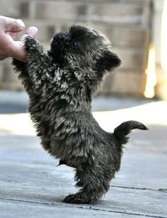 This is a Cairn Terrier. Rags the dog from the movie bright eyes was a female Cairn Terrier, who, in also portrayed Toto in The Wizard of Oz. Cairn Terrier Welpen, Cairn Terrier Puppies, Cute Baby Animals, Animals And Pets, Funny Animals, Funny Cats, Cute Puppies, Cute Dogs, Dogs And Puppies