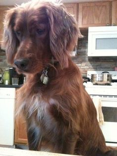 Irish setter stubbornness. Looks just like Lacy. And in the kitchen, yup, she's stubborn there!