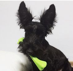 Look at those eyes on this Scottish Terrier. I mean the ears on this Scottish Terrier.