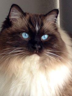Bradley – Ragdoll of the Week http://www.floppycats.com/bradley-ragdoll-of-the-week.html Cool Cats, I Love Cats, Crazy Cats, Quatro Patas, Siamese Cats, Ragdoll Cat Breed, Yellow Cat, Cat Gif, Cat Lovers