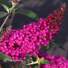 Hot Color, Great Size Butterfly Magnet Smaller than Other Buddleia Hot-Colored Flowers Hardy and Carefree once Established Wonderful Scent that Attracts Butterflies If you want a fool-proof butterfly-attracting garden, Buzz Hot Raspberry Butter Butterfly Bush Care, Dwarf Butterfly Bush, Sun Plants, Free Plants, Garden Plants, Hot Pink Flowers, Colorful Flowers, Beautiful Flowers, Wild Flowers