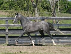Schoponi 2001 Trakehner x  Arab/TB pony (Schoenfeld *E* x  Cormac's Leap of Faith , Cormac's Etched in Stone) 14.1 stallion