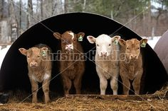 Four beef calves standing inside their run in shelter looking out.