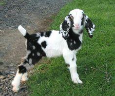Barnyard Animals, Cute Baby Animals, Animals And Pets, Funny Animals, Nubian Goat, Raising Goats, Cute Goats, Baby Goats, Animal Design