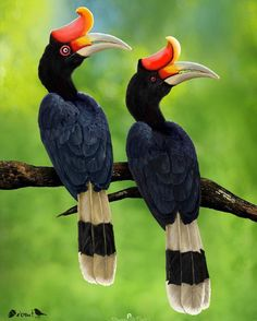 """8,870 Likes, 74 Comments - Nuts About Birds Est Jan 13 (@nuts_about_birds) on Instagram: """"✨Rhinoceros Hornbill, India ✨ . Congratulations @praveen.g.nair . ✨Your bird photo has been…"""""""