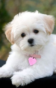Cute Little Puppies, Cute Dogs And Puppies, Baby Dogs, Doggies, Cutest Dogs, Cute Baby Animals, Animals And Pets, Funny Animals, Cute Dogs Breeds