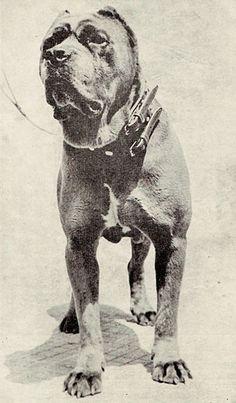 Mastino napoletano nel 1949