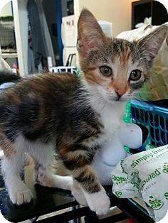 Los Angeles, CA - Domestic Mediumhair. Meet Cupcake, a kitten for adoption. http://www.adoptapet.com/pet/13322923-los-angeles-california-kitten