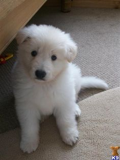 White German Shepard Pup...my 1st and best friend..from age 6 to 16 looked just like this cutie !!He was named after his 1st people food...Mac...and I miss him