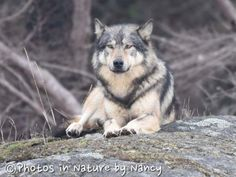 """A male wolf pictured in the Chatham Islands, off Oak Bay near Victoria. """"It was a lucky encounter,"""" said photographer Nancy Brown-Schembri. """"He just wandered out of the woods and sat down on the rock."""""""