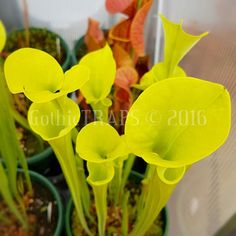 Sarracenia Flava All Green  They are so green this time of year...  #gothictraps #vancouver #bc #canada #plants #carnivoroustagram #carnivorousplant #carnivorousplants #sarracenia #sarraceniaflava #sarraceniaflavaallgreen #allgreen #pitcherplant #californiacarnivores #narcityvancouver #vancouverofficial #vancitybuzz #iamvancouver #typicalvancouver #vancityfeed #vancityhype #wearevancouver #vancouver_canada #discovervancouver #veryvancouver #604now #myvancouverlife by gothictraps