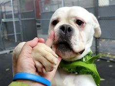 Young English bulldog named Pop Tart: Last hours for perfectly adoptable dog. Pop Tart even makes the most adorable snorting sounds.