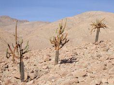 <em>Browningia candelaris</em>. 2007, Cile, XV Región de Arica y Parinacota