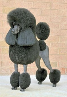 Black Standard Poodle in continental clip - the most popular show clip LUXe ¿¿¿¿**+
