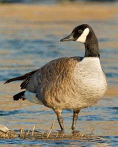 Canada Goose. One of my favorite birds. They winter here every year.