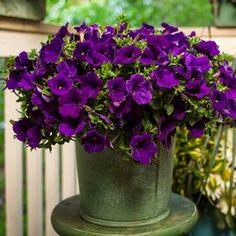 barrenwort Creeping Phlox, Cottage Garden Plants, Most Beautiful Gardens, Black Eyed Susan, Flowers Perennials, Ornamental Grasses, Small Trees, Day Lilies, Cool Plants