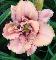 Small, Double Daylily, Hemerocallis 'Baubles and Beads' (Salter, 2007)