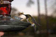 This dear little humming bird came to drink, but when he stuck in his beak he pulled out a bee instead. Unfortunately the humming bird suffered a traumatic and sad ending. (Photo and caption courtesy April Dingman/National Geographic Your Shot) Poor little guy ='(