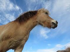 comment ne pas craquer devant ce beau petit cheval! un fjord si je ne me trompe pas Tautavel (66) bon mardi