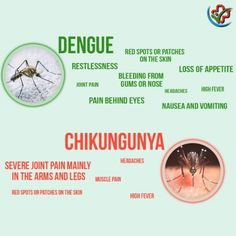 Know the differences between chikungunya and dengue fever. #Chikungunya #dengue #fever
