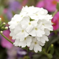 """Verbana, variety shown is Babylon White verbena, which """"bears pure white flowers on a trailing plant"""" ----- sun - zones 7-9 - annual, perennial - fairly drought-resistent - various colors, including a couple other near-whites ----- a September flower suggestion from """"The Complete Book of Flower Arrangement,"""" 1947."""