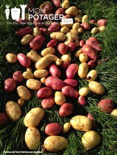 Les betteravec burpees golden du potager - Pomme de terre germee comestible ...