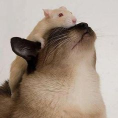 unlikely animal friends Baby Animals, Funny Animals, Cute Animals, I Love Cats, Crazy Cats, Siamese Cats, Cats And Kittens, Unlikely Animal Friends, Hamster
