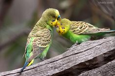 A pair of affectionate (wild) Budgerigars (Melopsittacus undulatus). Australian Parrots, Budgies, Cute Creatures, Pet Store, T Rex, Pets, Tree Branches, Special Gifts, Countries