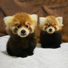 These are Pumori and Rohan, 3 month old red panda cubs. I'll take them both please.. Fascinating Pictures (@Fascinatingpics) | Twitter