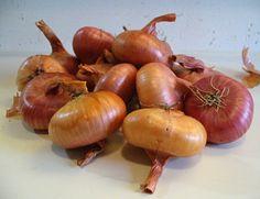 Onion 'Cipollini Borrettana' - A pearl of an onion with a beautiful saucer-like shape & a sweet, mild flavor. Photo courtesy of Krista Kennedy