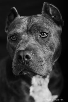 These dogs are so beautiful. #pitbull #dog #blamethedeednotthebreed