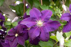 Most popular clematis. Fast growing vine with large violet purple flowers with white stamens from summer to fall. Blooms on new wood, prune to ground level in spring. Excellent for training on a trellis or wall. Width depends on how trained to support.