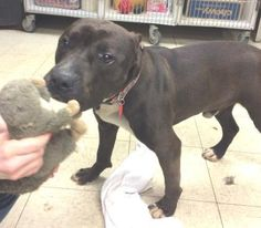 URGENT! Meet Matthias-Ruscue/Foster Needed!, a Petfinder adoptable Terrier Dog | Cleveland, OH | Heartworm Positive: Needs Rescue to pull: Matthias is a very sensitive boy. He took awhile to warm...