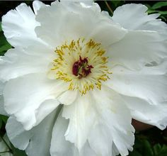 ~Paeonia lactiflora 'White Wings'