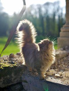 A cute Persian cat